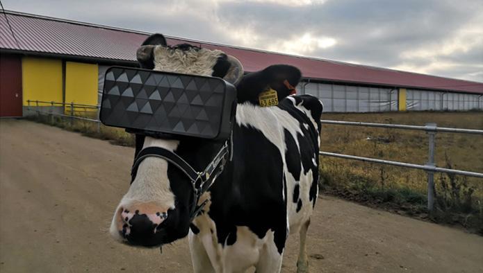 На ферме России коровам выдали VR-очки